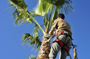An arborist wearing a safety harness trims a palm tree.for the importance of tree trimming