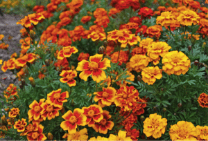 yellow and orange marigolds from a Santa Barbara garden