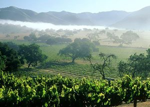 fog over the vineyards in Santa Barbara Wine Country