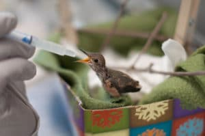 a tiny hummingbird being bottle fed at the Santa Barbara Wildlife Care Network