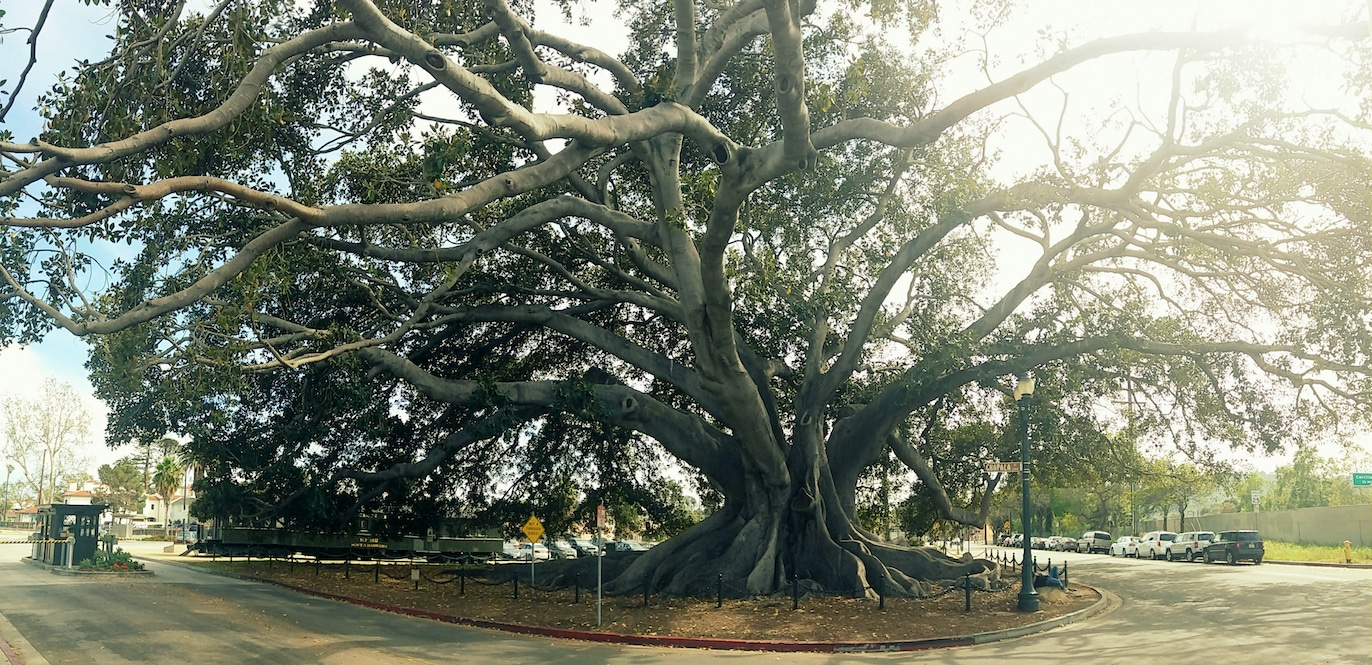 Santa Barbara's massive Moreton Bay Fig Tree